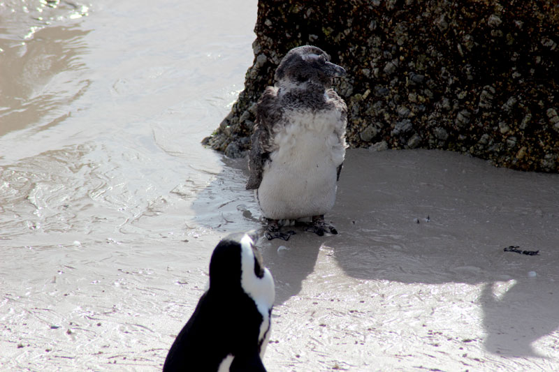 Pinguinnachwuchs mit Flaum aus Daunen