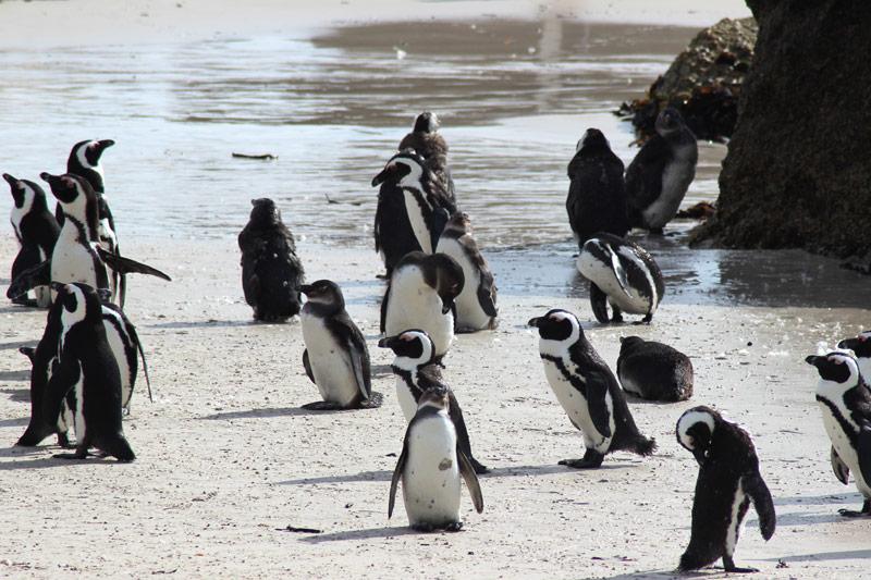 Schutz der Pinguine in Südafrika