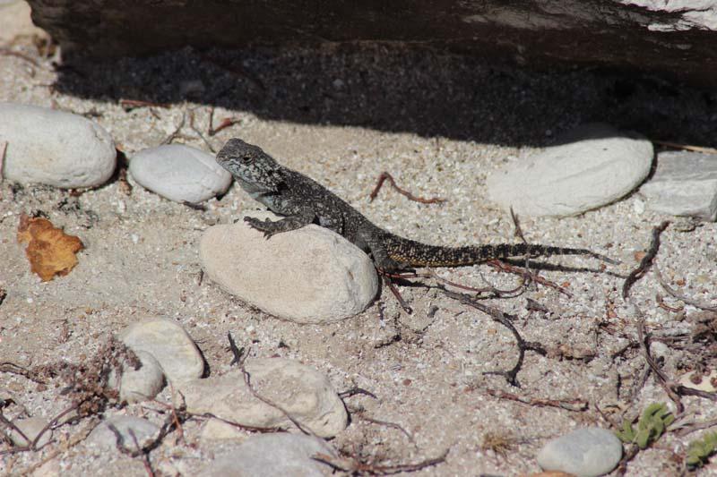 Reptilien am Kap Agulhas