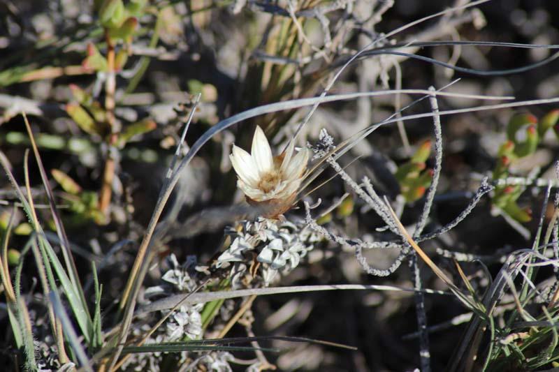 Fynbos am Kap Agulhas