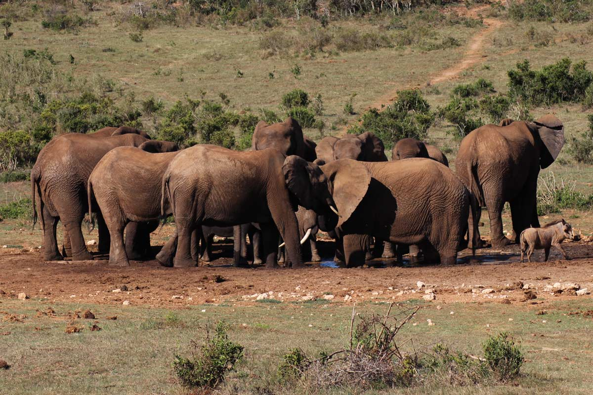 Addo Elephant Park Südafrika - Big Five Safari auf eigene Faust im Addo Nationalpark