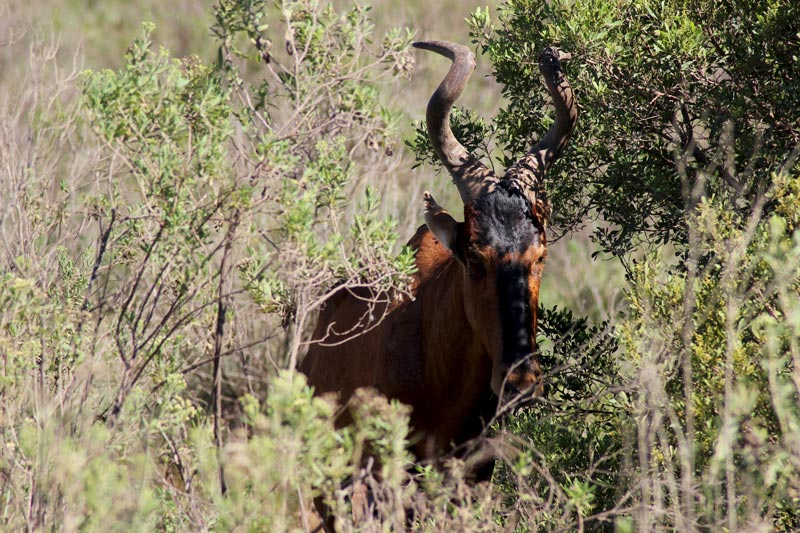 Antilope Addo Park