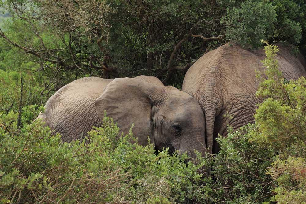 Elefanten Addo Park