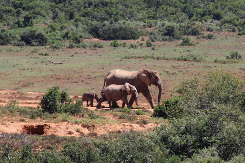 Elefantenfamilie Addo National Park