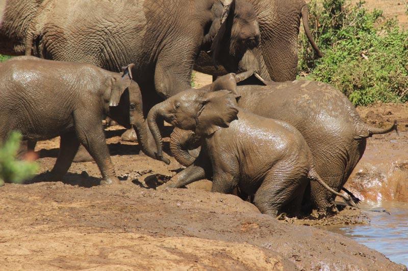 Elefanten beim dem Schlammbad Addo Nationalpark