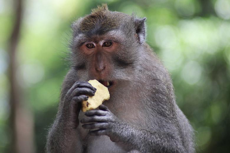 Affe Monkey Forest Ubud Bali