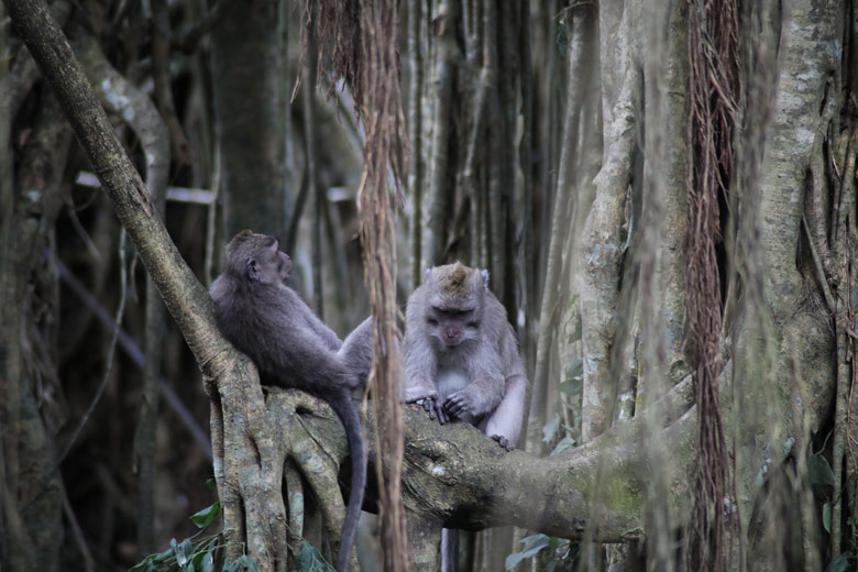 Affen Monkey Forest Ubud Bali