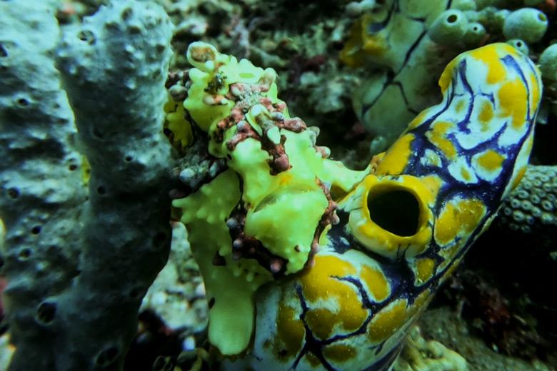 Anglerfisch Tauchen Sulawesi Murex Dive Resort Bangka Indonesien