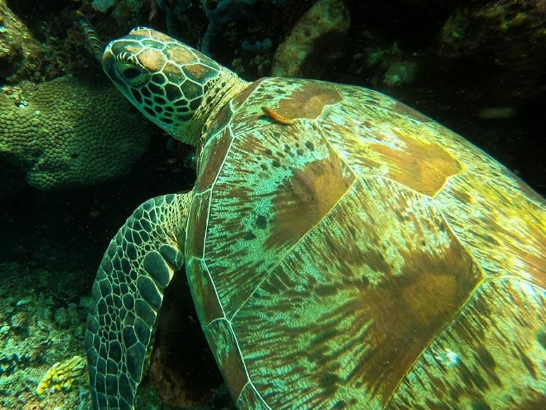 Schildkröte Tauchen in Indonesien Bunaken Sulawesi Bastianos Dive Resort